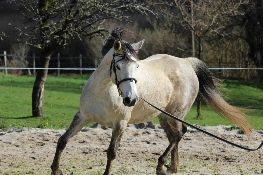Arabian Horse Price How Much Do They Cost? in 2020