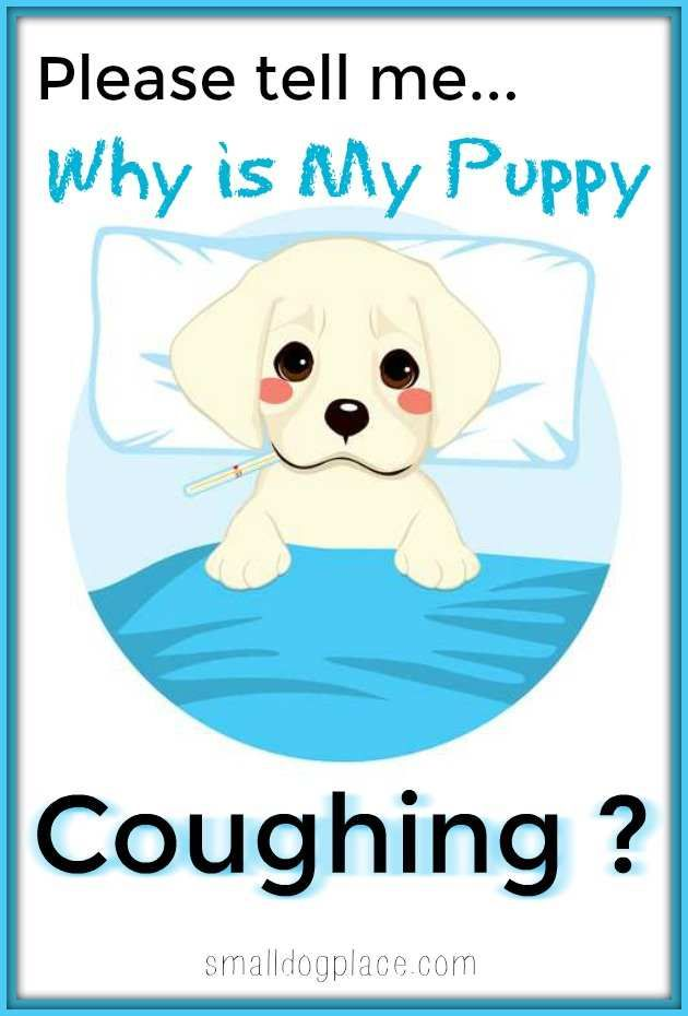 Why Is My Puppy Coughing Puppy Cough Puppies Dog Coughing