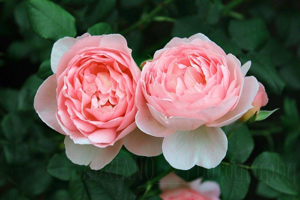 #RosesOpenWeekend