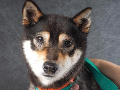Adopt Madonna, a lovely 4 years 8 months Dog available for adoption at Petango.com. Madonna is a Shiba Inu and is available at the National Mill Dog Rescue in Colorado Springs, Co. www.milldogrescue.org #adoptdontshop #puppymilldog #rescue #adoptyourfriendtoday