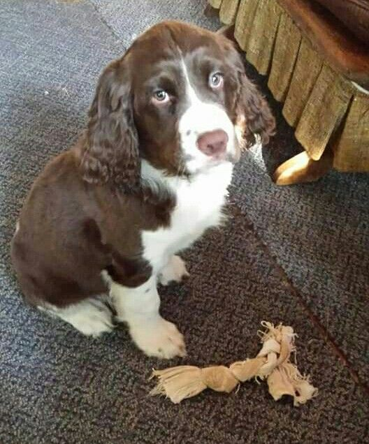 Pin By Joanie Farence On The Best Dog Breed Ever My Babies Springer Spaniel Spaniel Breeds Springer Spaniel Puppies