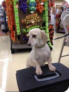 Echo Is A Dachshund Dog For Adoption In West Palmbeach