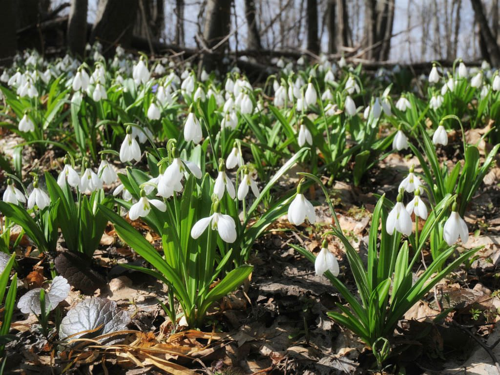 Galanthus Plicatus Pleated Snowdrop World Of Flowering Plants Planting Flowers Shade Plants Trees To Plant