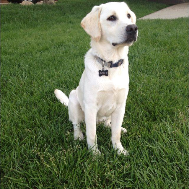 Yellow Lab 6 Months Old Dog Heaven Labrador Retriever Yellow Lab