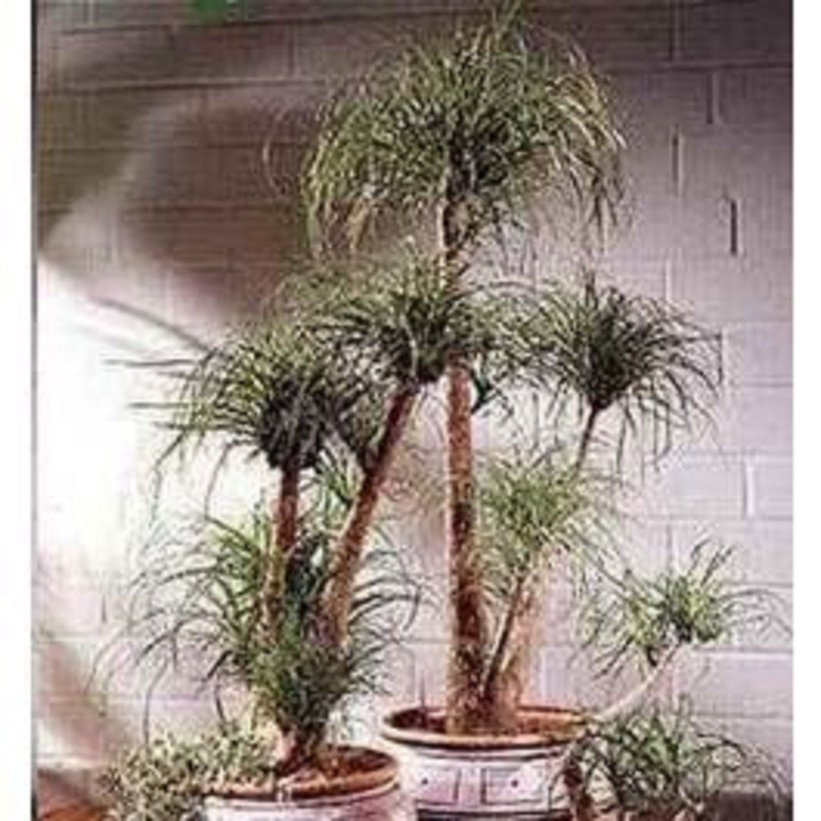 Ponytail Palm Cats