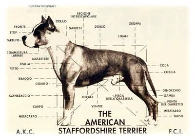 Physical Characteristics Of The American Staffordshire Terrier