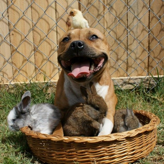 Basket Of Pitbull Birds And Bunnies Look At How Vicious The