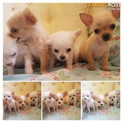 Extra Small Toy Breed Apple Head Chihuahua Puppies Chihuahua Puppies Chihuahua Miniature Poodle Puppy