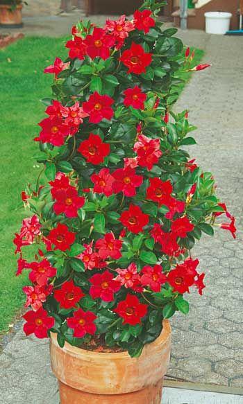 Sundaville Piros Sieberz Kft Plants Flowers Greenery