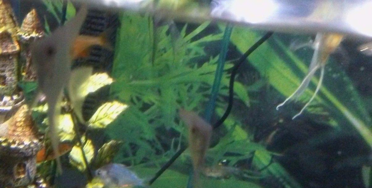 Angelfish Tropical