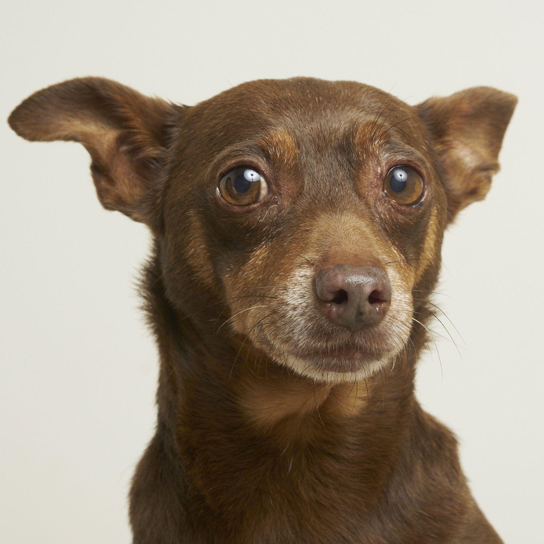 Chipin dog for Adoption in Eden Prairie, MN. ADN667551 on