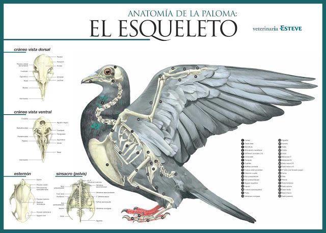 Mis amigas las palomas: Esquemas anatomía de las palomas ...