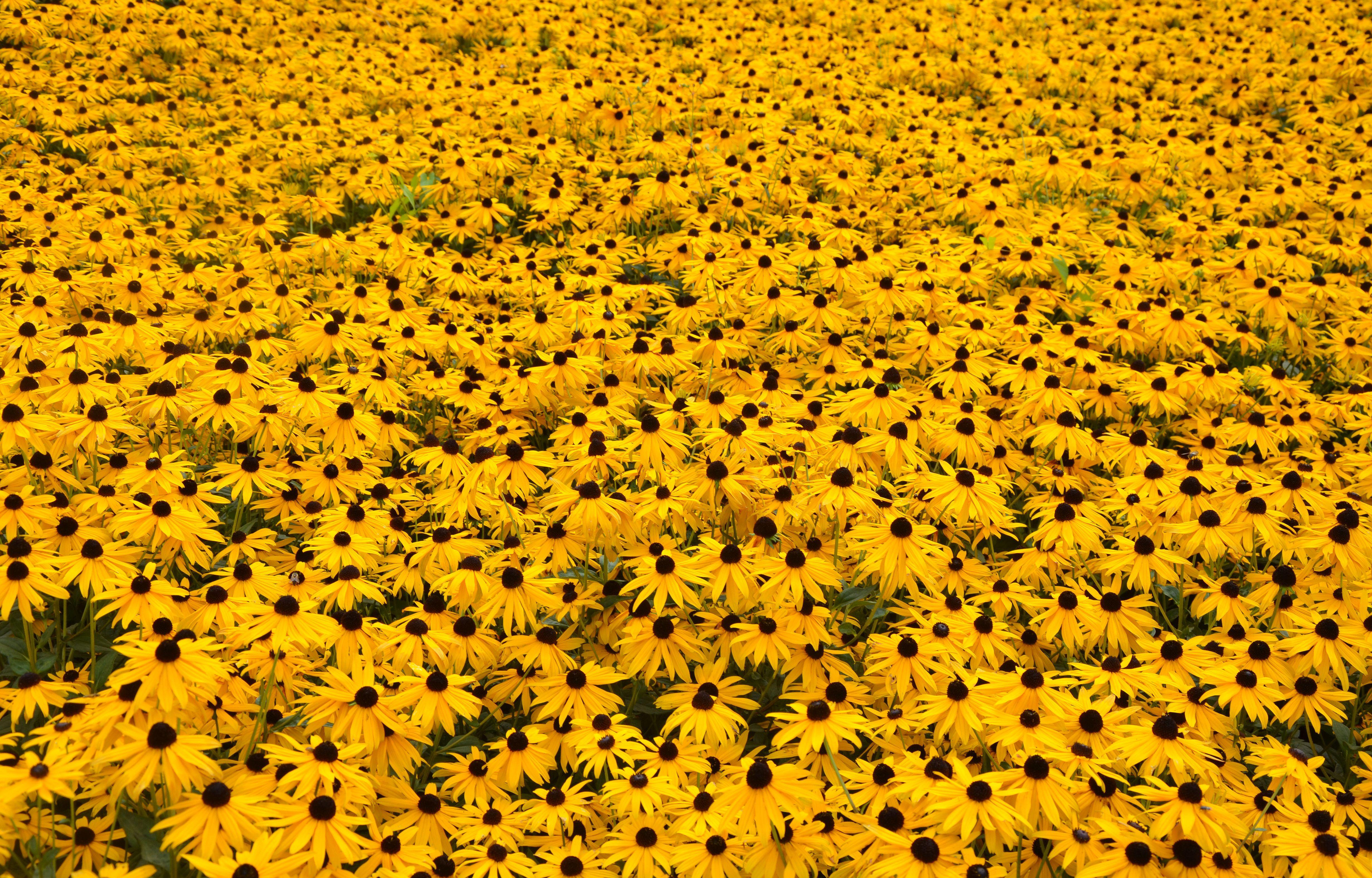 Filefield Of Yellow Flowers 6080049195g Wikimedia Commons