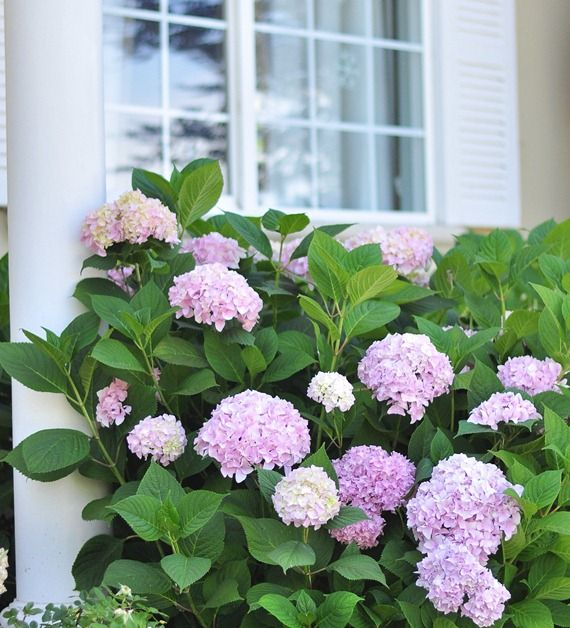 Tips for growing healthy hydrangeas. I love hydrangeas! This is good to know for when I plant some