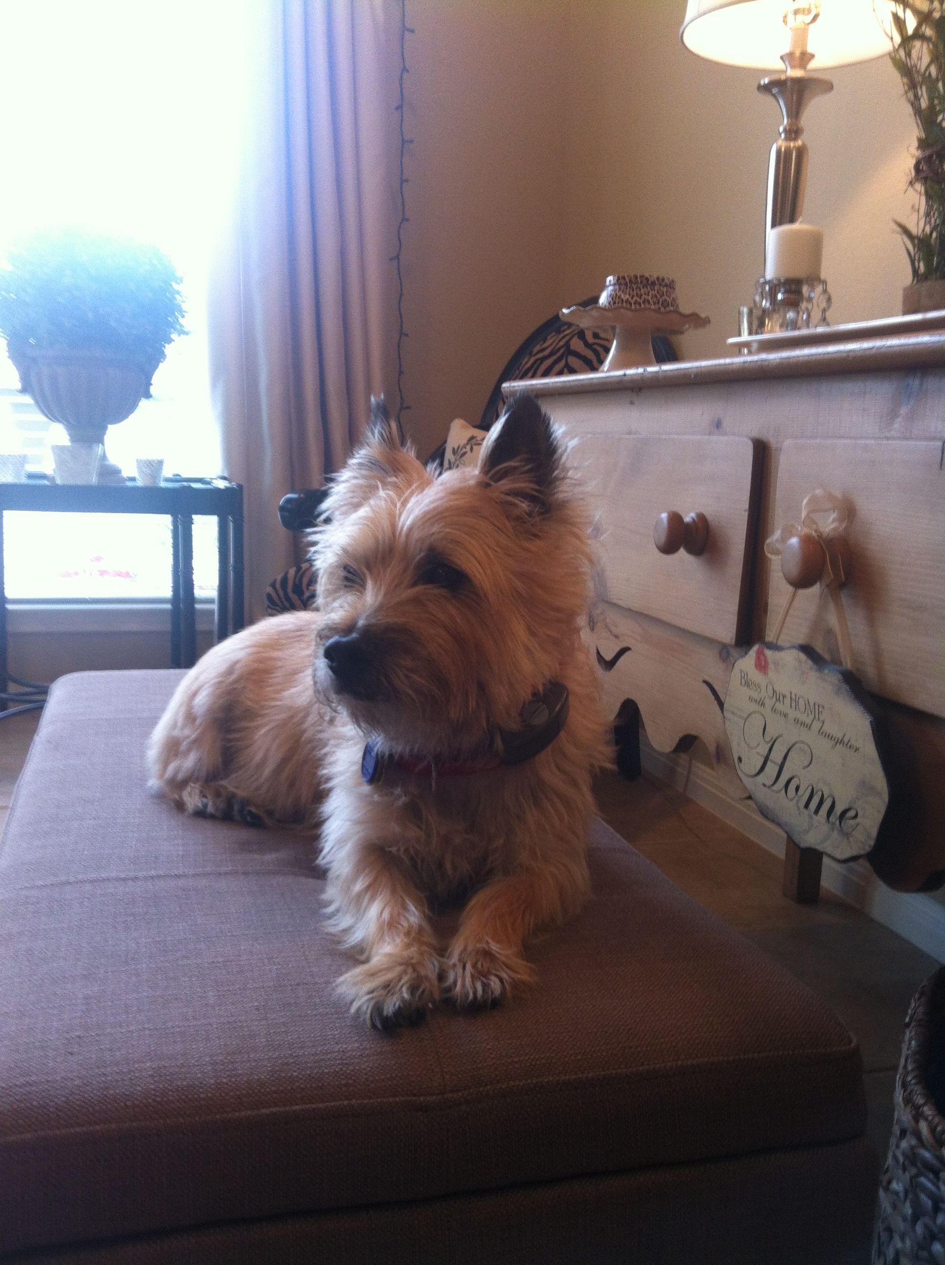 Lola And Chula Cairns Norwich Terrier Large Dog Breeds Cairn