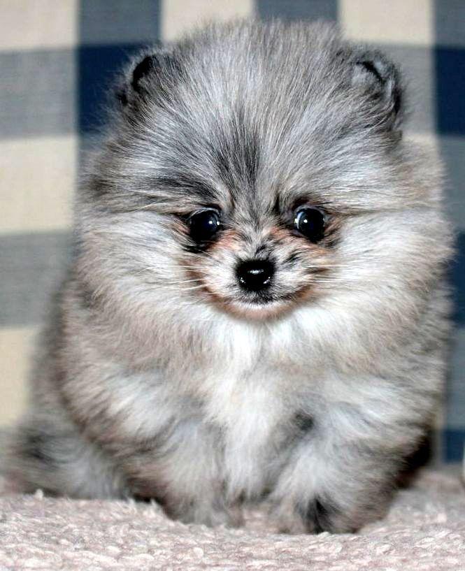 Blue Merle Pomeranian   Cuteness - Pomeranians & Kittens ...