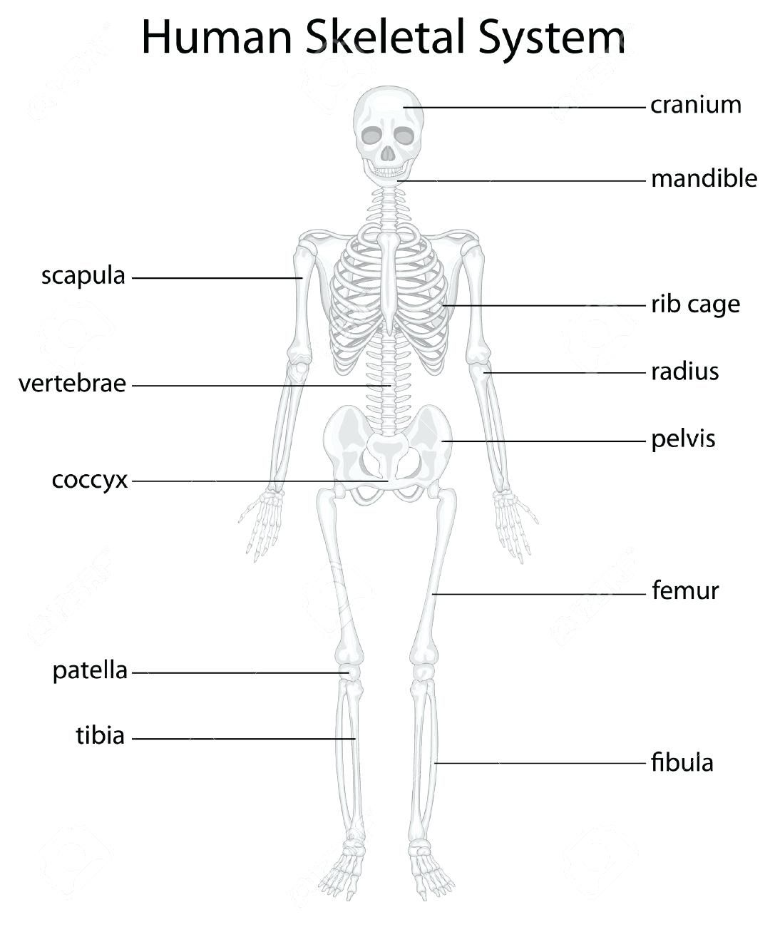 Image Result For Anatomy Labeling Worksheets Skeletal System Human Skeletal System Skeletal System Printable