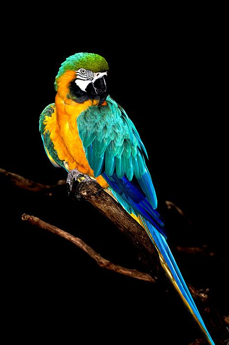 Macaw by David Keith Jr. (all Rights Reserved)