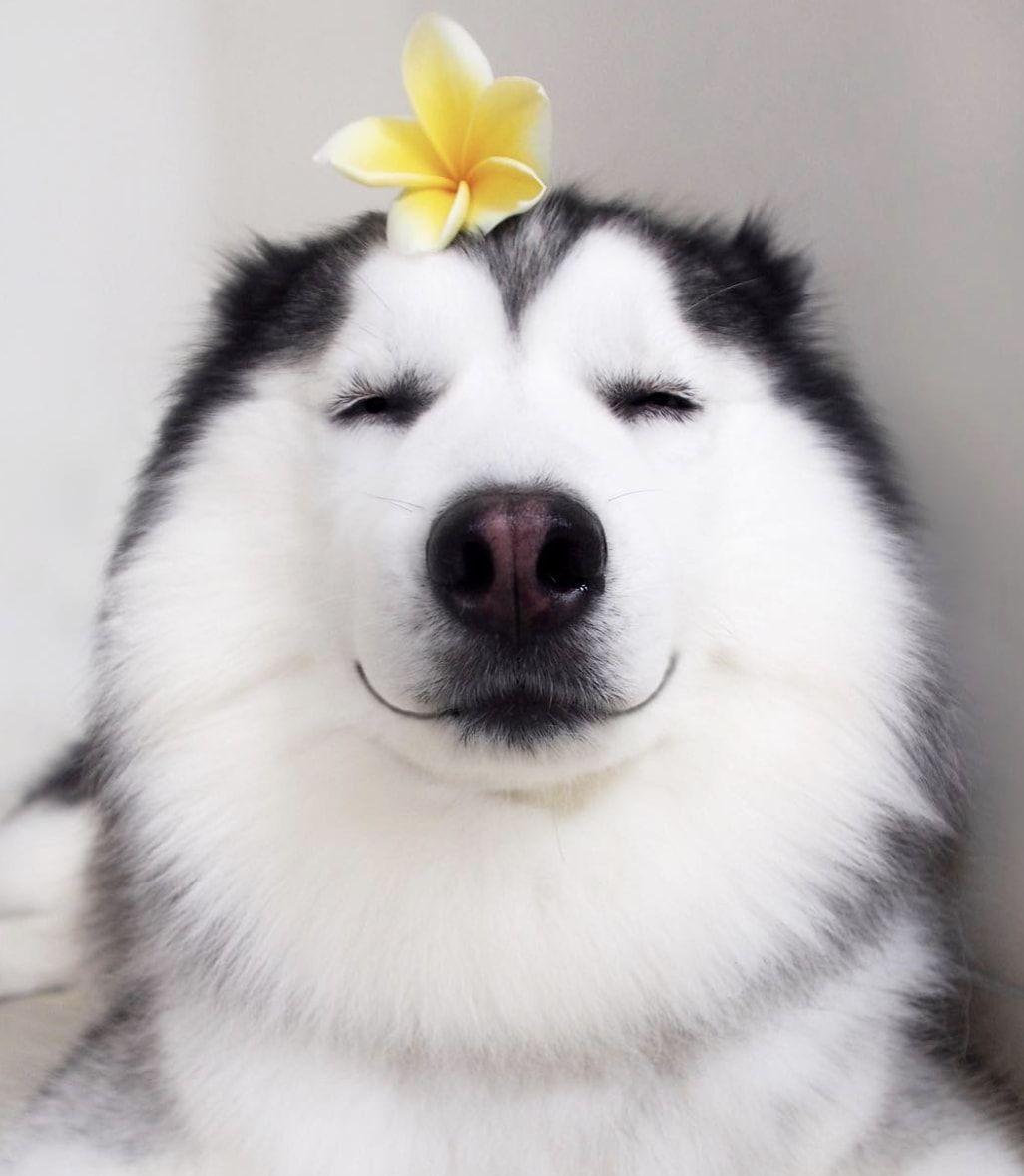 Maru Husky Husky Dogs Cute Animals Happy Dogs