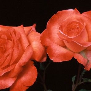 """Robert Clements™, Dedicated to John's Uncle Robert Clements, with whom John shared a mutual love of roses for more than 40 years. Long pointed buds open to classically shaped 4"""" blooms (petals 20+), that have an artistic feel to their color. Rich deep apricot-blush, over-layed with orange-red almost coppery toward the edge of the petals. The striking blooms are produced in good numbers on a wall foliaged continually blooming shrub, with rich bright-green, glossy leaves."""