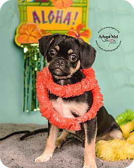 Cincinnati Oh Pug Shih Tzu Mix Meet Lava Lava A Puppy For