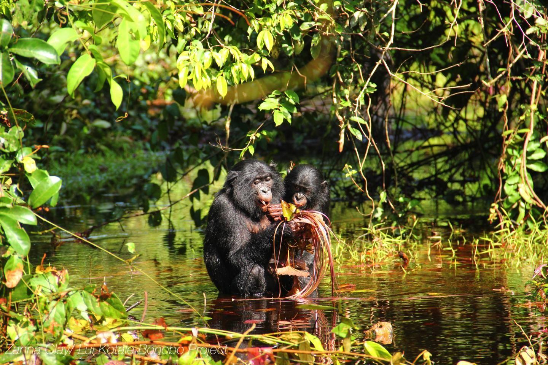 "Bonobo ""Speech"" Is Similar To Human Baby Talk -  http://bit.ly/1DobeoZ"