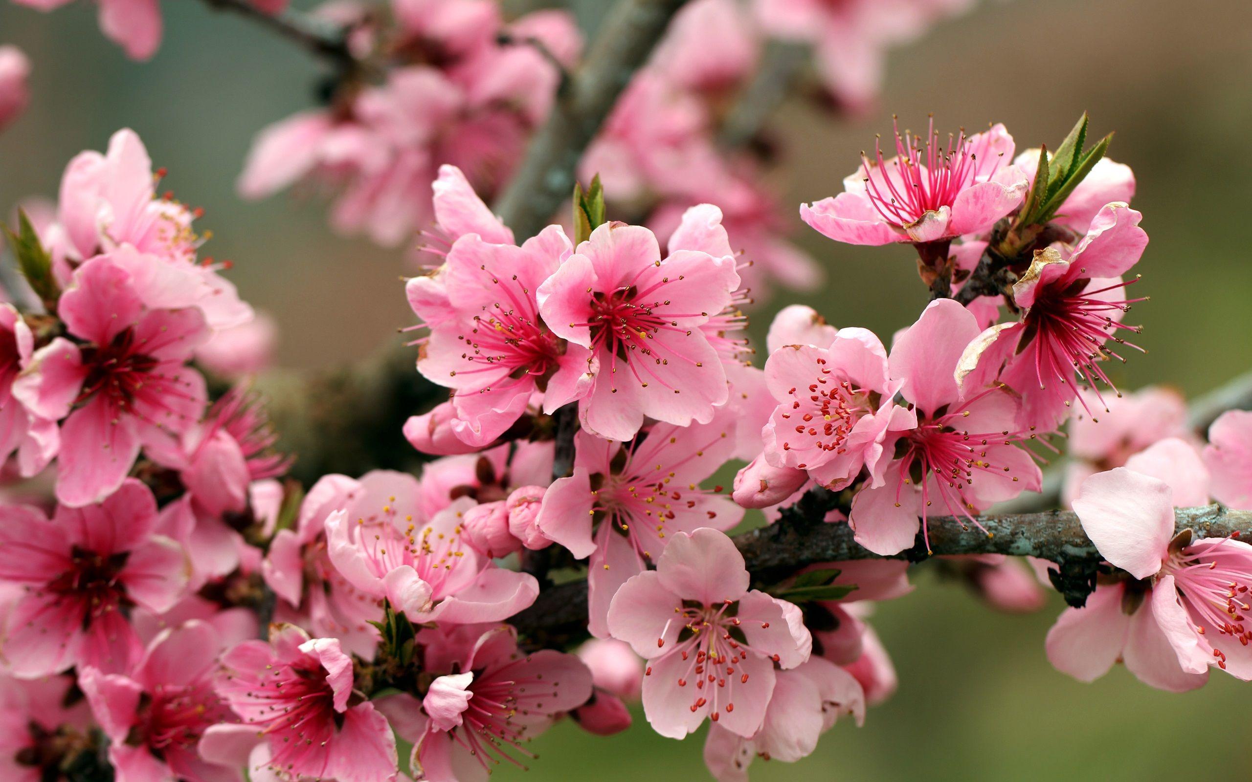 Pink Apple Blossom Isolated Flower Art Apple Blossom Tattoos Flower Painting