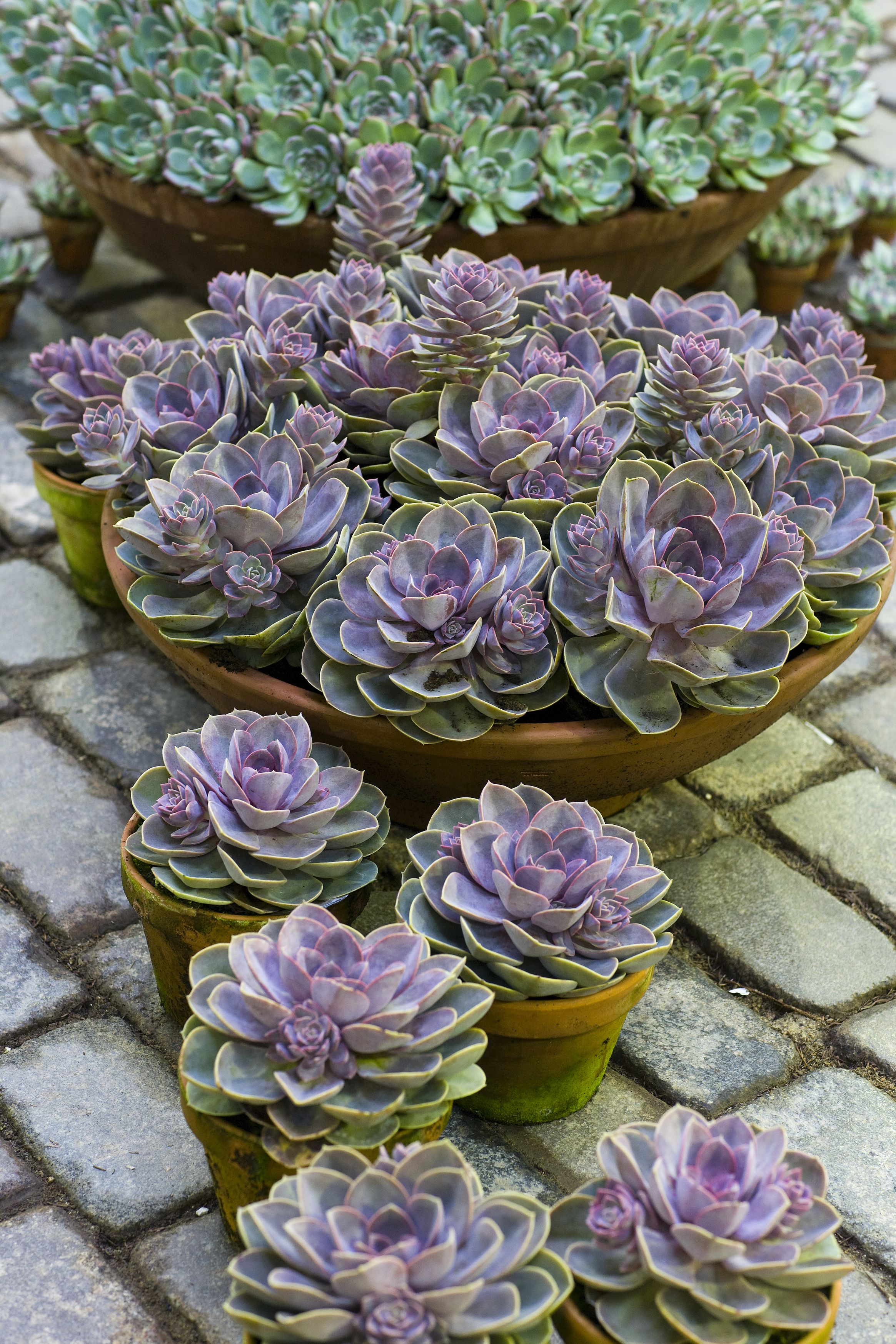 Echeveria 'Perle von Nurnberg' Must have some of these. Get on it Beth. You are the woman that can find these