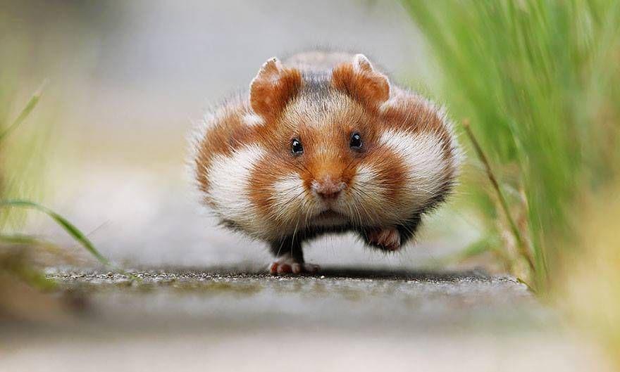 Rennender Hamster Gibts Das D Hamsters Animaux Les Plus