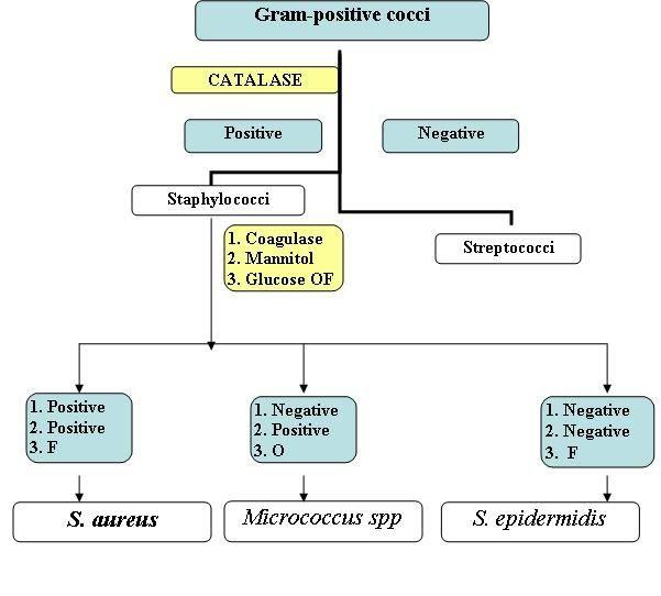 Gram negative bacteria flow chart positive cocci identification also rh pinterest