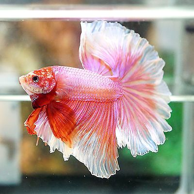 Live betta fish male fancy beautiful sweet pink rosetail for Betta fish sale