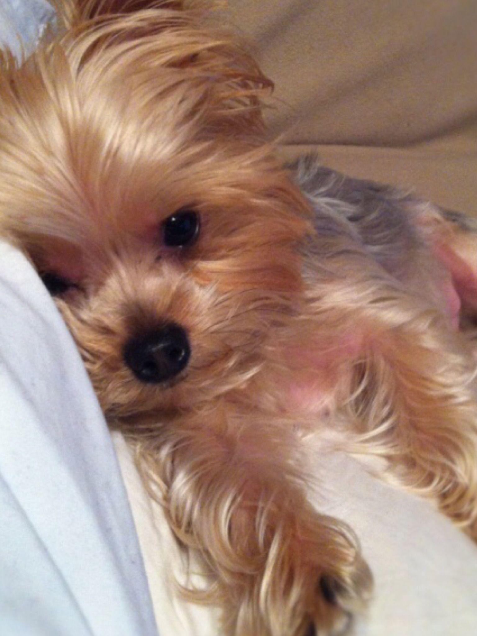Pin By Cawlye Ladd On Animals Yummy Yorkies Yorkie Yorkie Puppy Yorkie Dogs