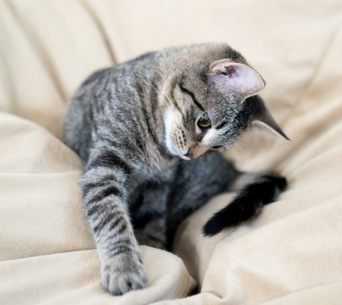 Chestnut Female Online Adoption Form Kitten Academy Kitten Academy Twitter Cats Tabby Cat Cute Cats And Kittens