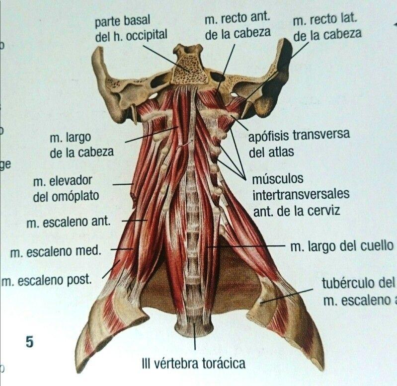 Musculos cuello | miofuncional | Pinterest | Musculos cuello ...