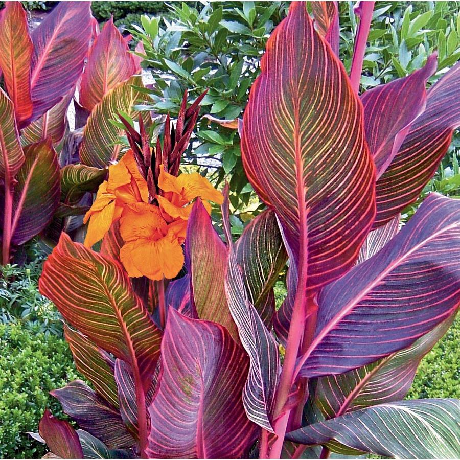 Garden State Bulb In Pot Tropicanna Canna Lily L10956 Lowes Com Canna Lily Landscaping Canna Lily Flowers Perennials