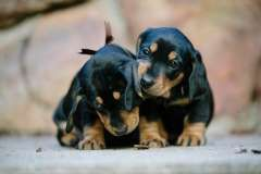 Available Puppies Forever Homer Dachshunds Puppies Dachshund