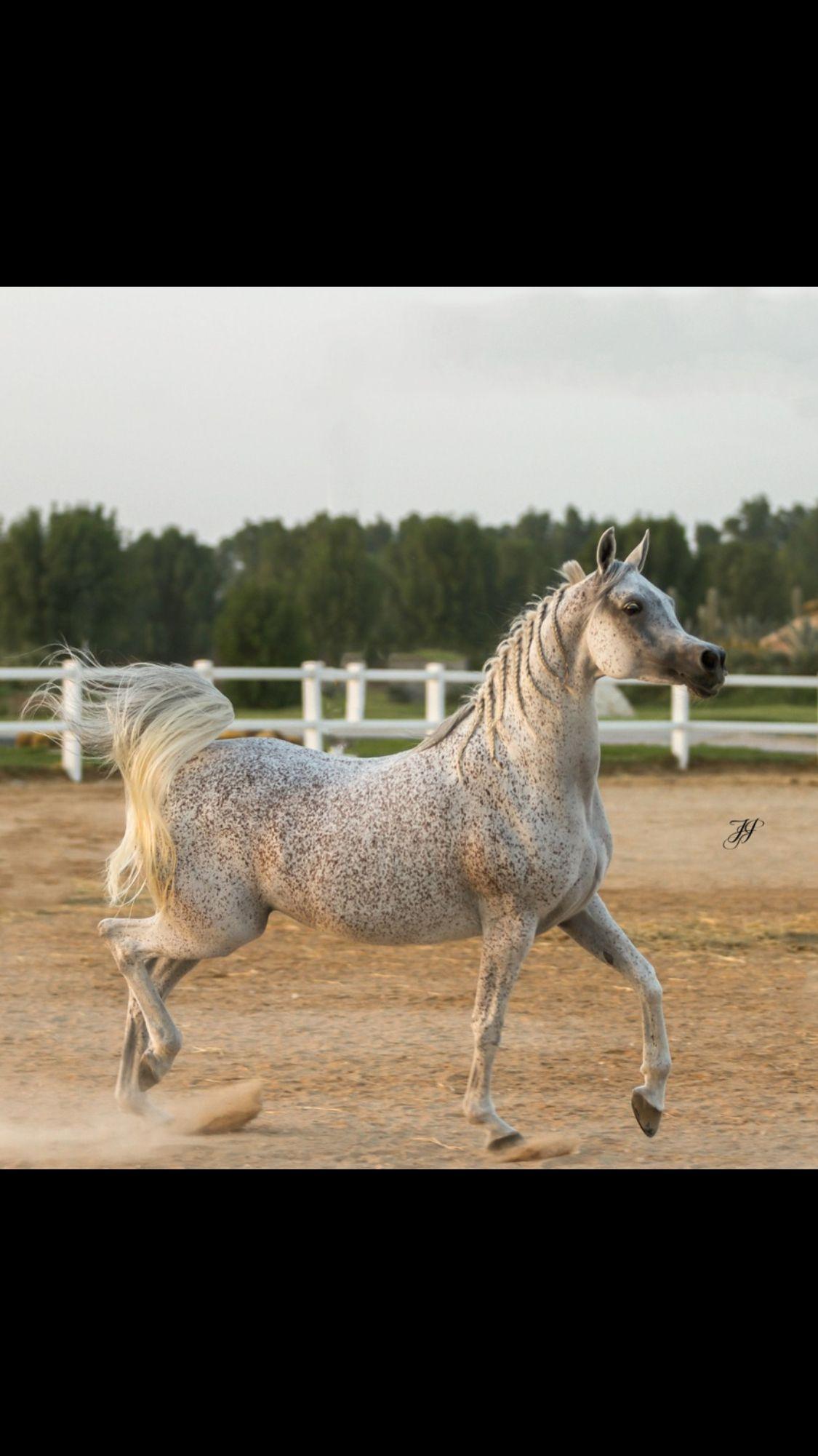 I Love A Big Bodied Arab Beautiful Arabian Horses Beautiful Horses Horses