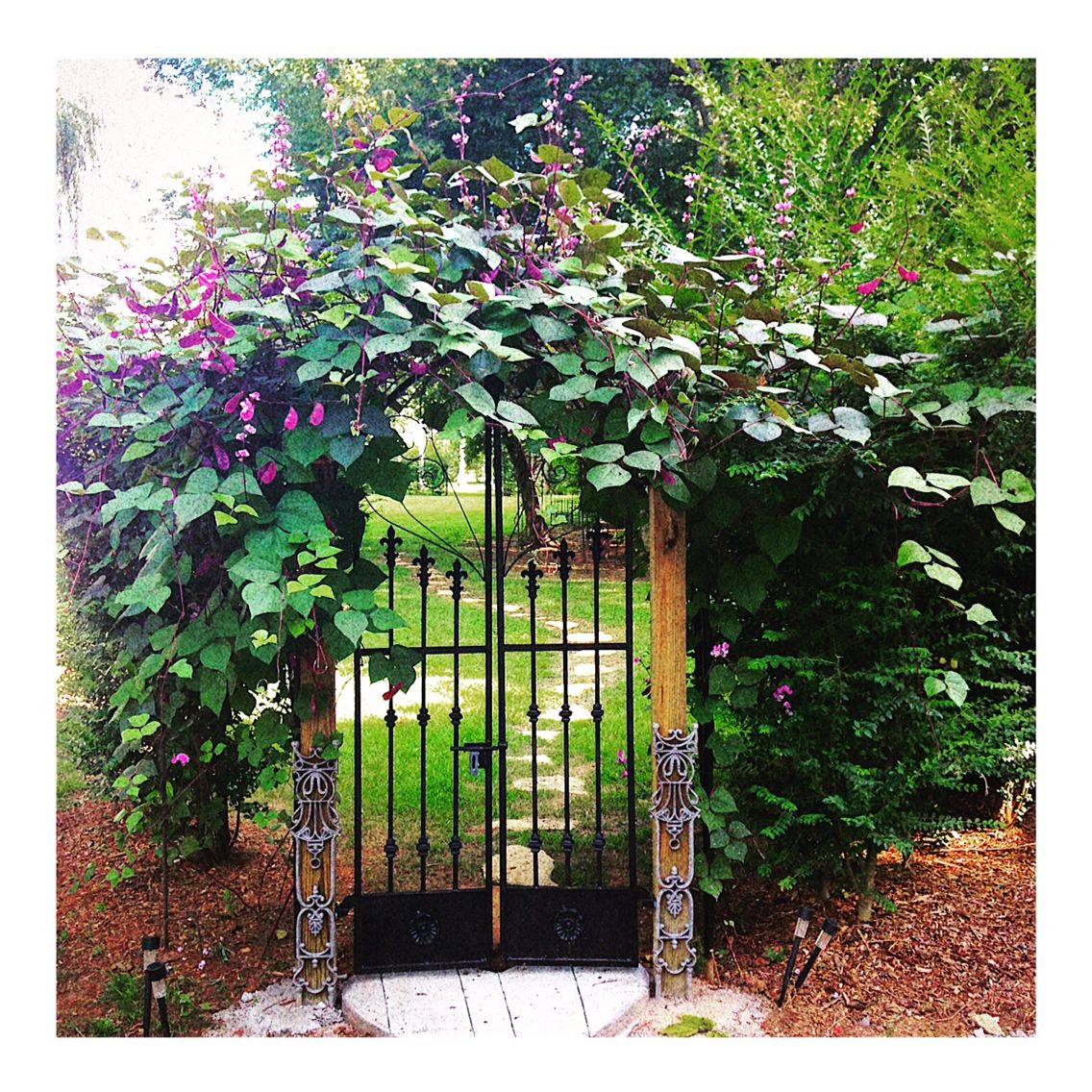 Hyacinth bean vine. Great for fast covering. | Outdoor ...
