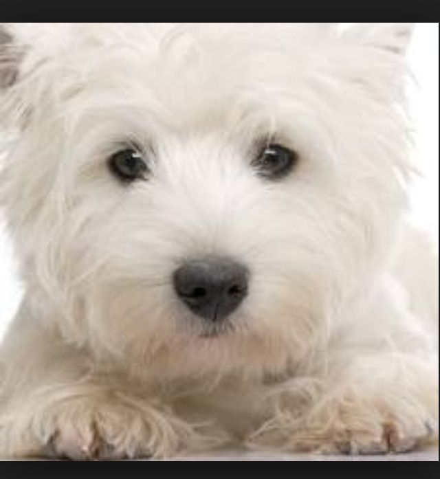 Pin By Sue Lucke On Dogs Westies Westie Dogs White Terrier
