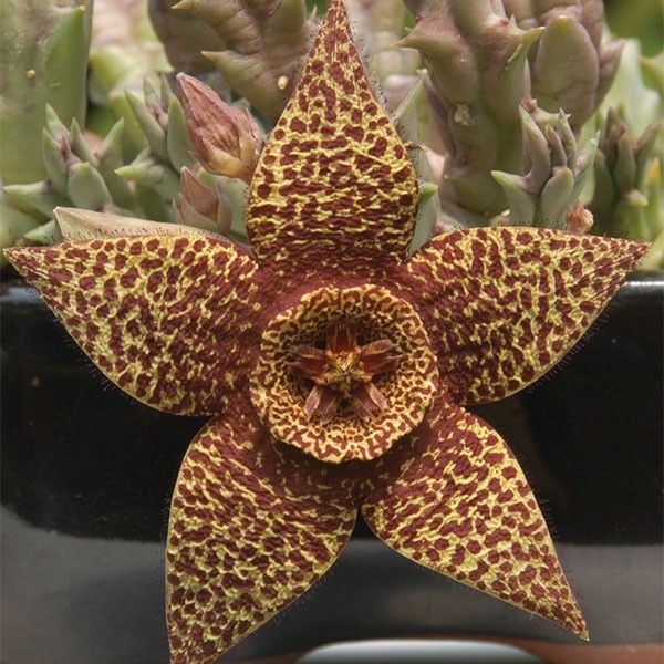 Variegated starfish plant stapelia variegata cacti for Stapelia variegata