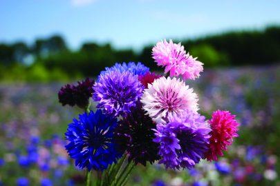 Bachelors Button Mix Flower Seeds Heirloom Vegetable Seed In 2020 Bachelor Buttons Flower Seeds Vegetable Seed