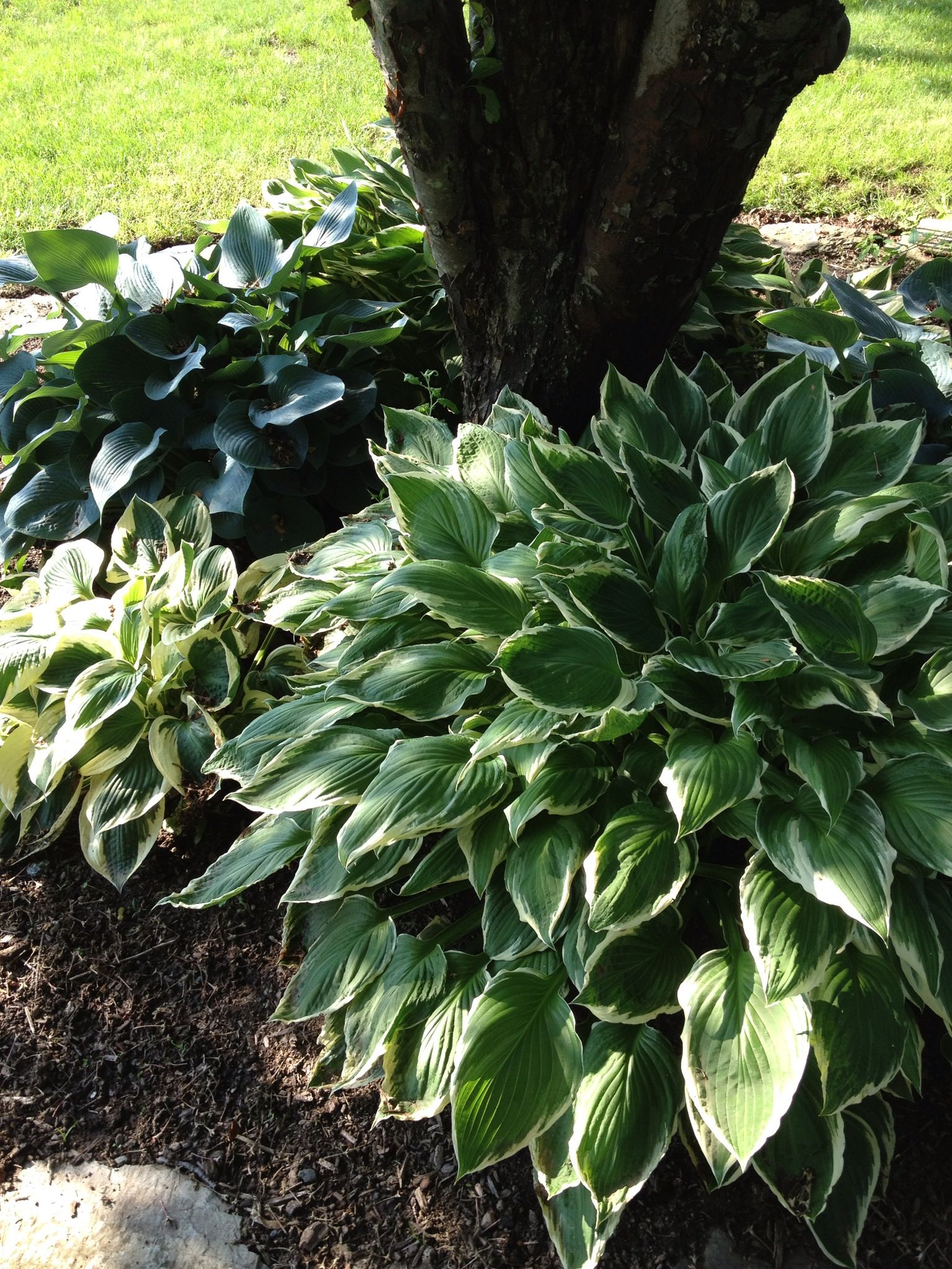 Hostas Around The Base Of A Tree I Am Going To Do This To Our Laurel Oak Tree This Year The Roots Are Massive And Una Landscaping Around Trees Shade Garden