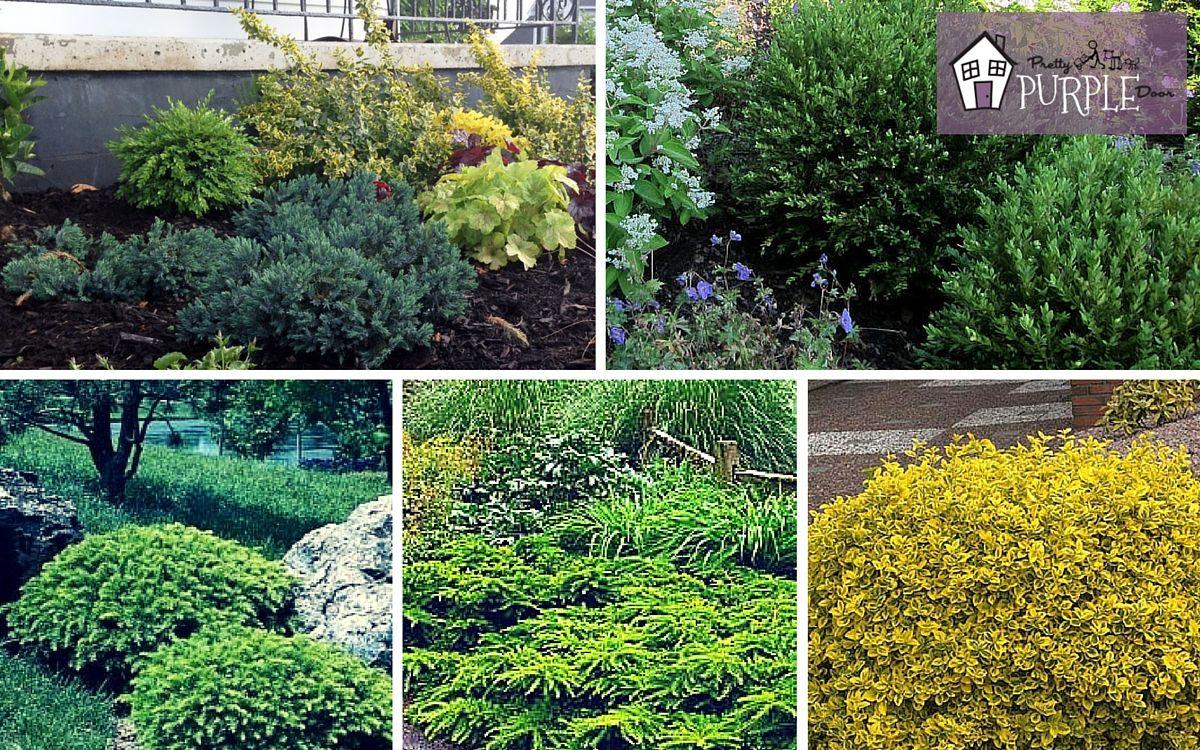 The Importance Of Evergreen Shrubs In Your Mixed Border Pretty Purple Door Evergreen Shrubs Evergreen Plants Perennial Garden Plans