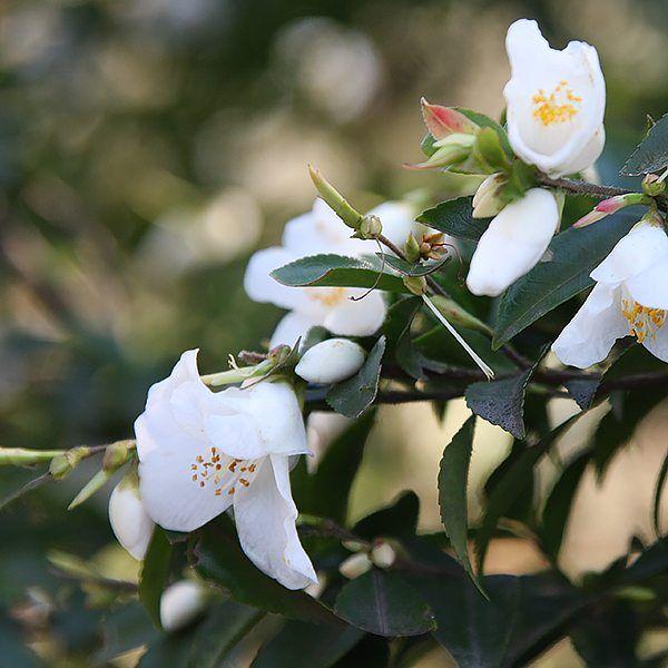 Small Flowering Camellia Wirlinga Bride Camellia Camellia Flower Plants