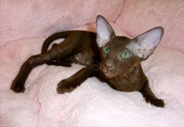 Peterbald Oriental Shorthair Cats Hairless Cat Oriental Shorthair