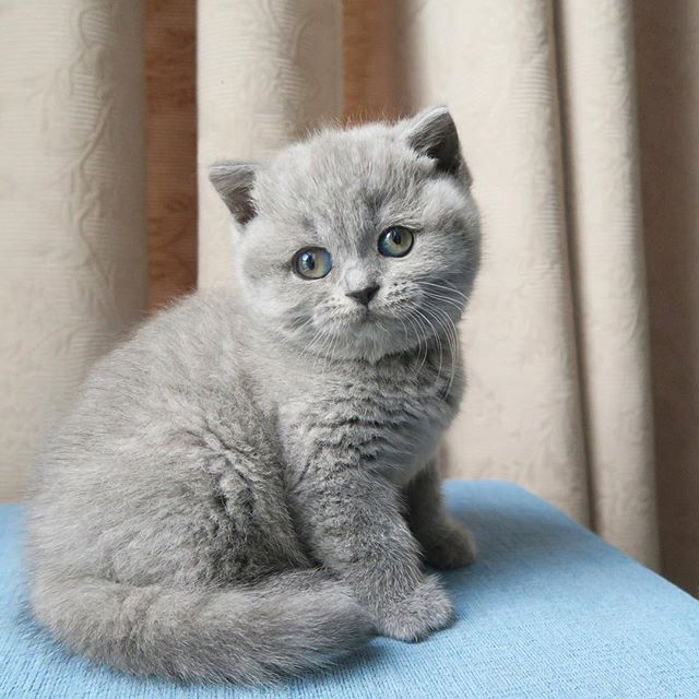 D Awwwww Cute 3 Cats British Blue Cat Kittens