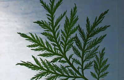 Artemisia annua : Plante contre le paludisme ... et le cancer