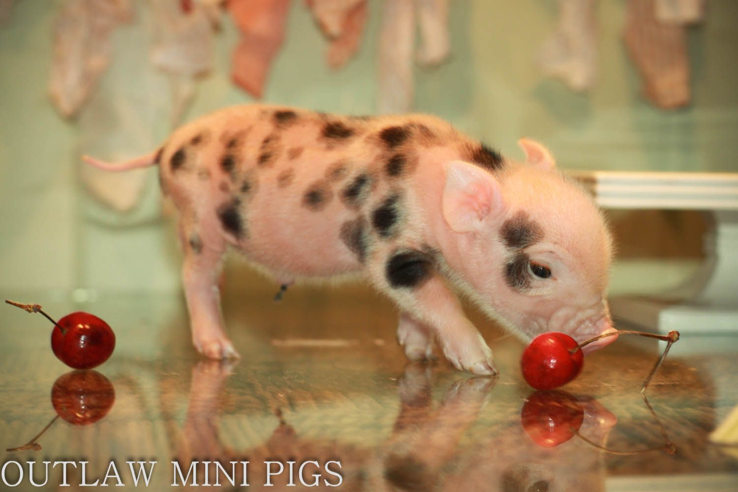 Cherries Anyone? http://www.outlawminipigs.com/available-piglets.html
