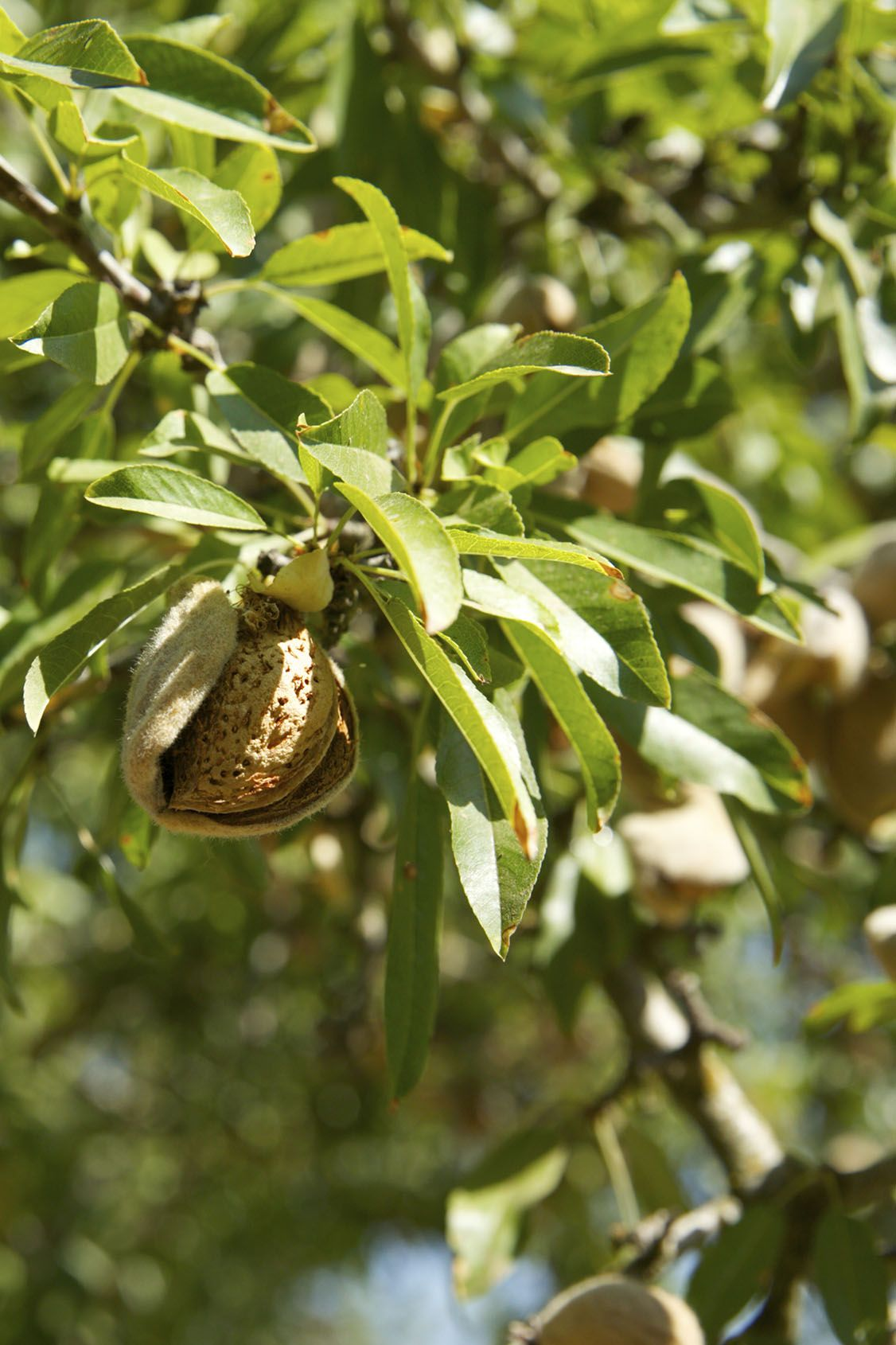 black almond tree removal - 736×1104