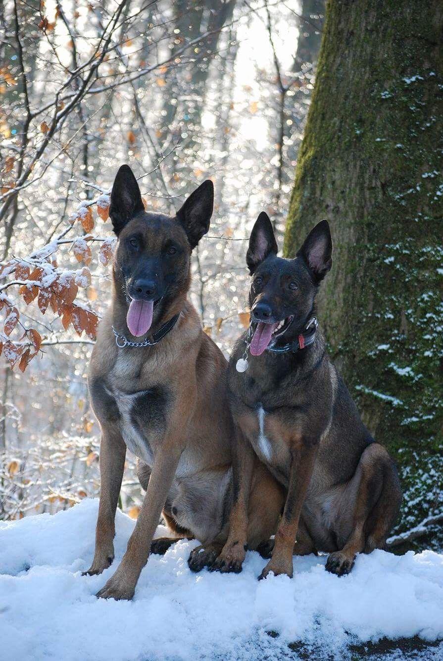 Pin By Heatherly Ballard On Mechelse Herders Beautiful Dogs Dogs Belgian Malinois